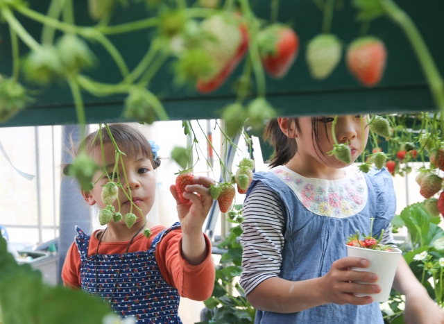 イチゴ狩り 子供