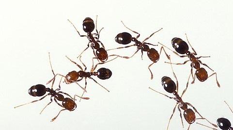 火蟻 特徴