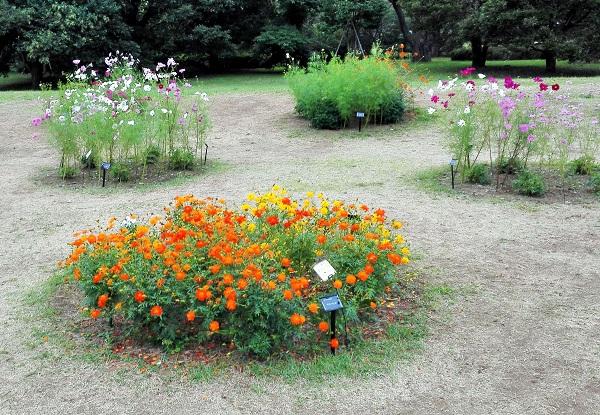 昭和記念公園 コスモス 種類